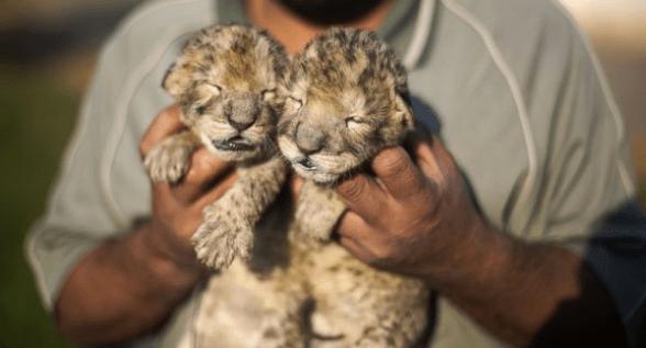 Gaza's First Lion Cubs Die Soon After Birth