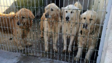 36 golden retrievers rescued from Istanbul streets