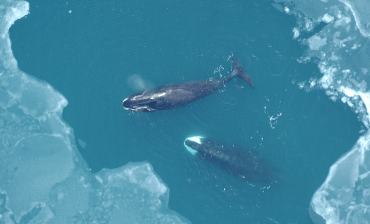 Why oil and gas companies should buy whales hearing aids