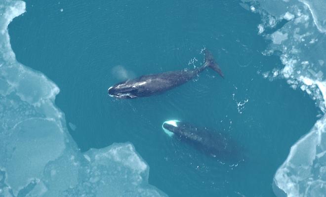whale hearing aid