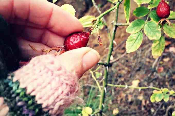 picking rose hips