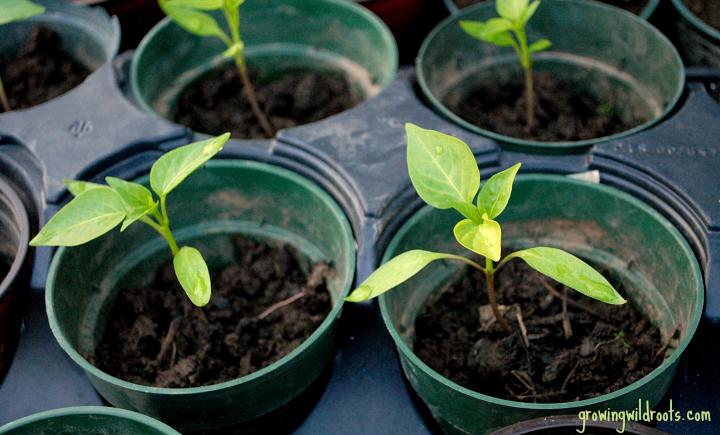 6 Vegetable Plants to Start Indoors