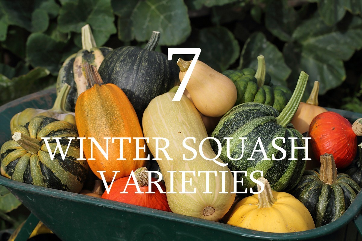 Our winter squash harvest - video!