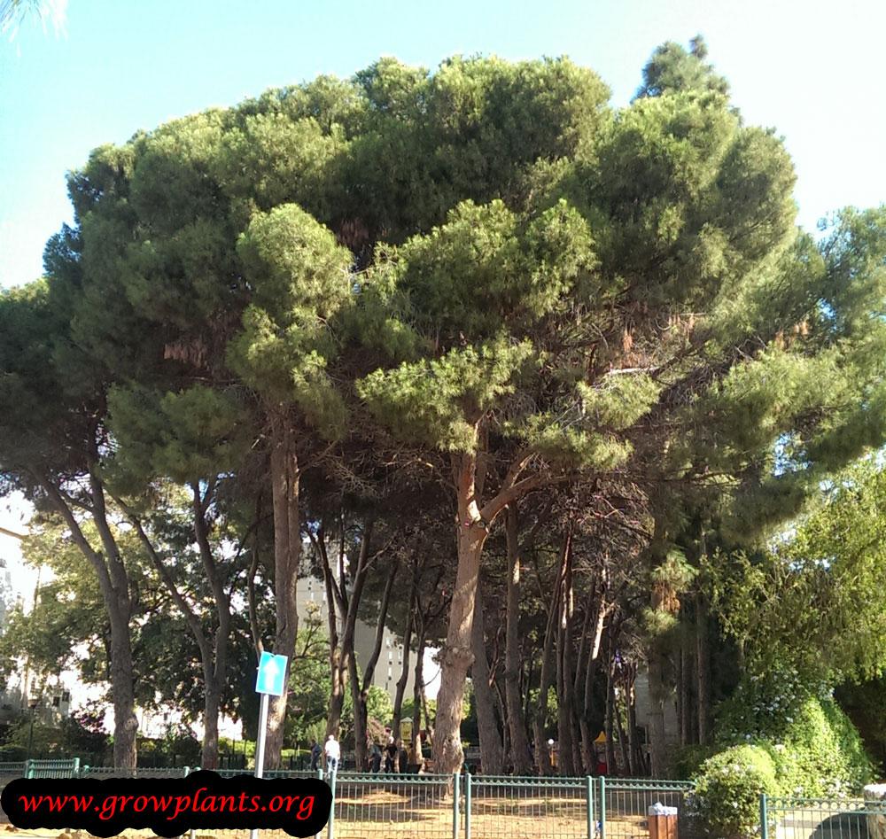 Fullsize Of Italian Stone Pine