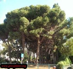 Small Of Italian Stone Pine
