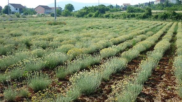 smilje-poljoprivreda-010415.jpg