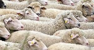 ovce-guzva