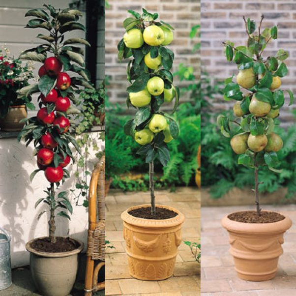 Alberi da frutto colonnari decorativi e perfetti per for Piante da frutto nane