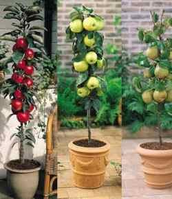 Alberi da frutto colonnari: decorativi e perfetti per piccoli spazi