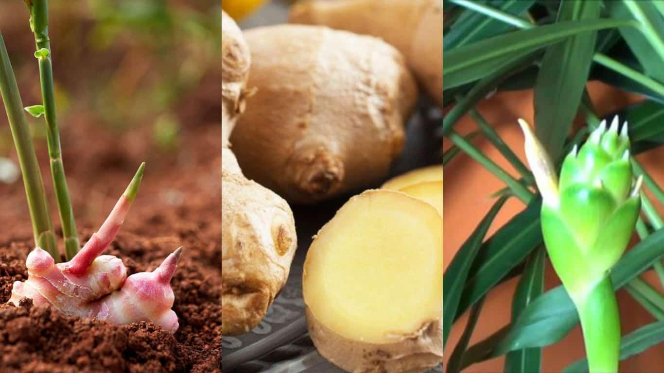 Zenzero: coltivazione e cura