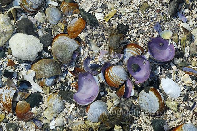 Beach shells on Cabbage Island located just east of Saturna Island, Gulf Islands, BC