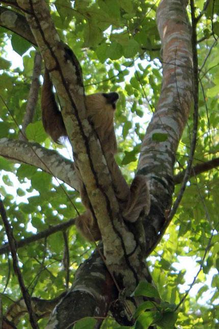 The elusive sloth