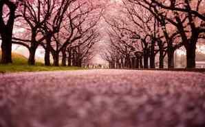 Hanami, Kunjungi 3 Festival Bunga Sakura Terpopuler di Jepang