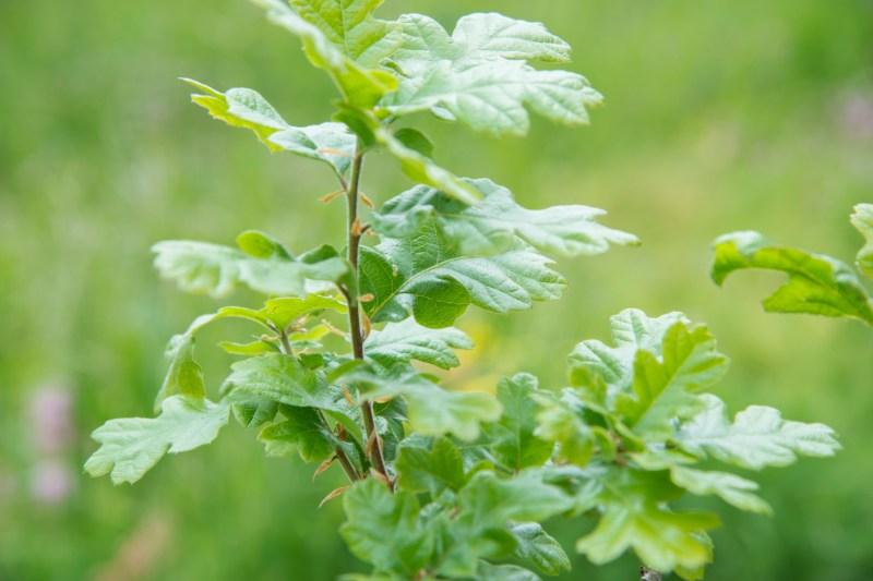 Large Of Dark Oak Sapling Wont Grow