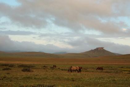 Tijdens de nacht worden de paarden losgelaten in de grasvelden aan de lodge. Daar genieten ze duidelijk van want het is moeilijk om ze 's ochtend terug te vangen.