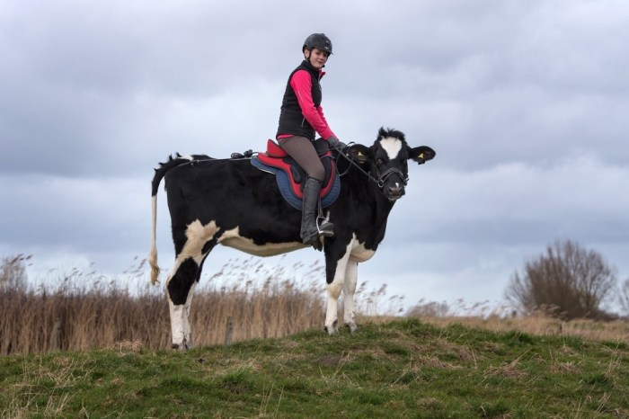 epa05856702 Thirteen-year-old Hanna Steinker rides on cow 'Luna' in Ellenserdammersiel, Germany, 18 March 2017. Steinker has trained the animal for riding on it like on a horse. The young cow is now able to gallop and jump over small obstacles.  EPA/DAVID HECKER