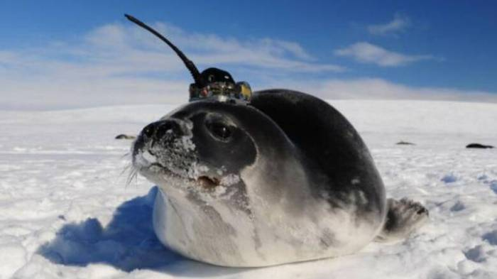 190611090157-elephant-seal-polynya-science-exlarge-169