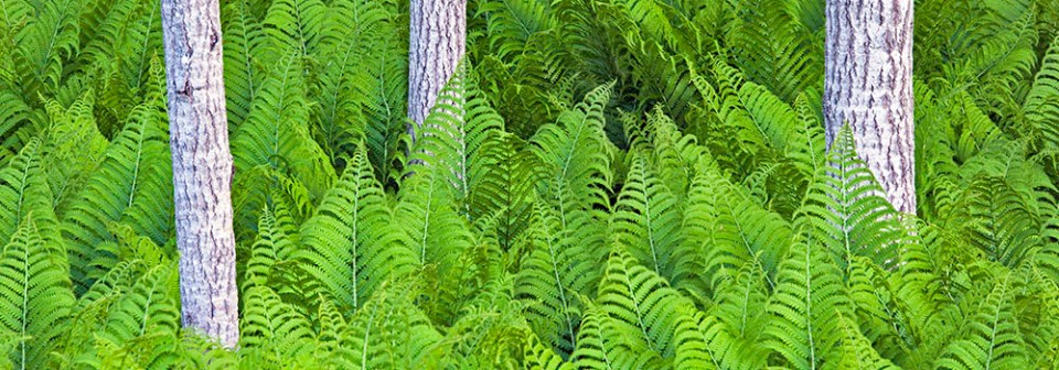 Ferns of Michigan