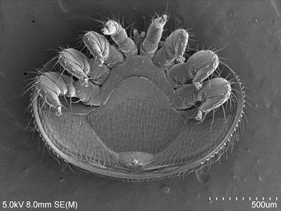 An microscopic image of a Varroa mite