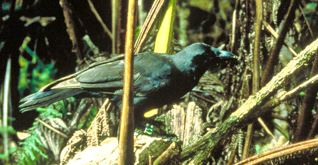 Gene sequencing of rare Hawaiian crow will assist in conservation efforts