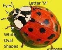 Asian Lady Beetle Identification
