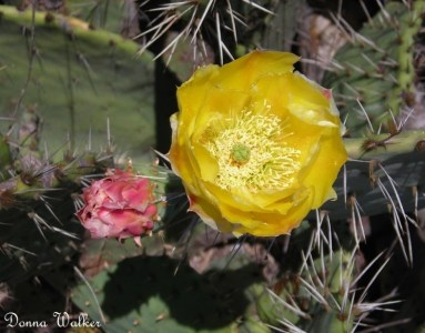 Flowers of the Prickly Pear Cactus
