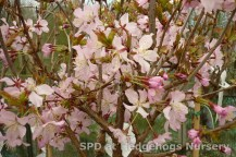 Fantastic flowering Japanese Cherry Tree