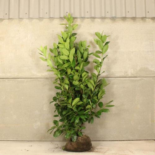Medium Of Cherry Laurel Tree