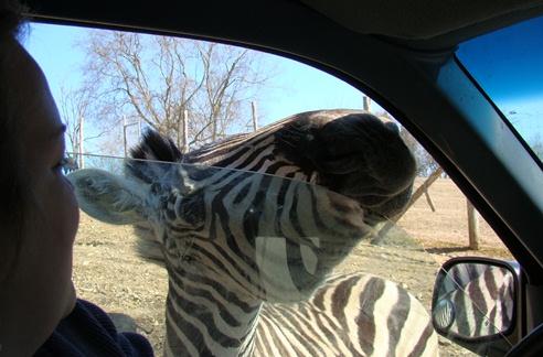 Circle G Ranch Zebra invasion