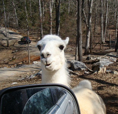 Circle G Ranch llama hello