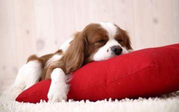 hendersonville puppy