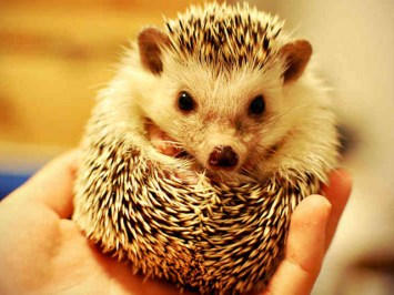 pet store hedgehog