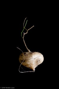 Still life photography at home – a Turnip #1