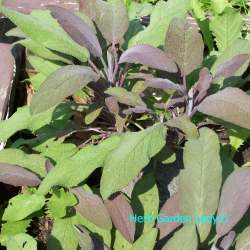 Small Crop Of Sage Pest Control