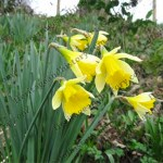 Daffodils reach for newly discovered light