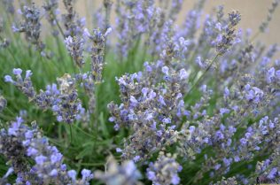 Lavender bush #hertoolbelt