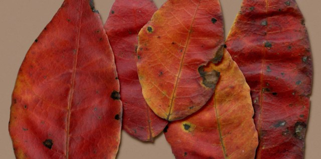 Free download ~ High resolution individual png files of orange leaves ~ courtesy of hgdesigns.co