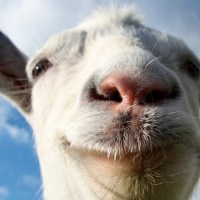Goat Simulator is now on Android and iOS, Cross Platform Goat Madness...
