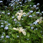 Wildflowers on the Dipsea
