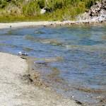 90% of all California seagulls were born on Mono Lake