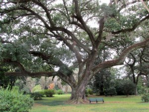 Oak Tree in Melrose