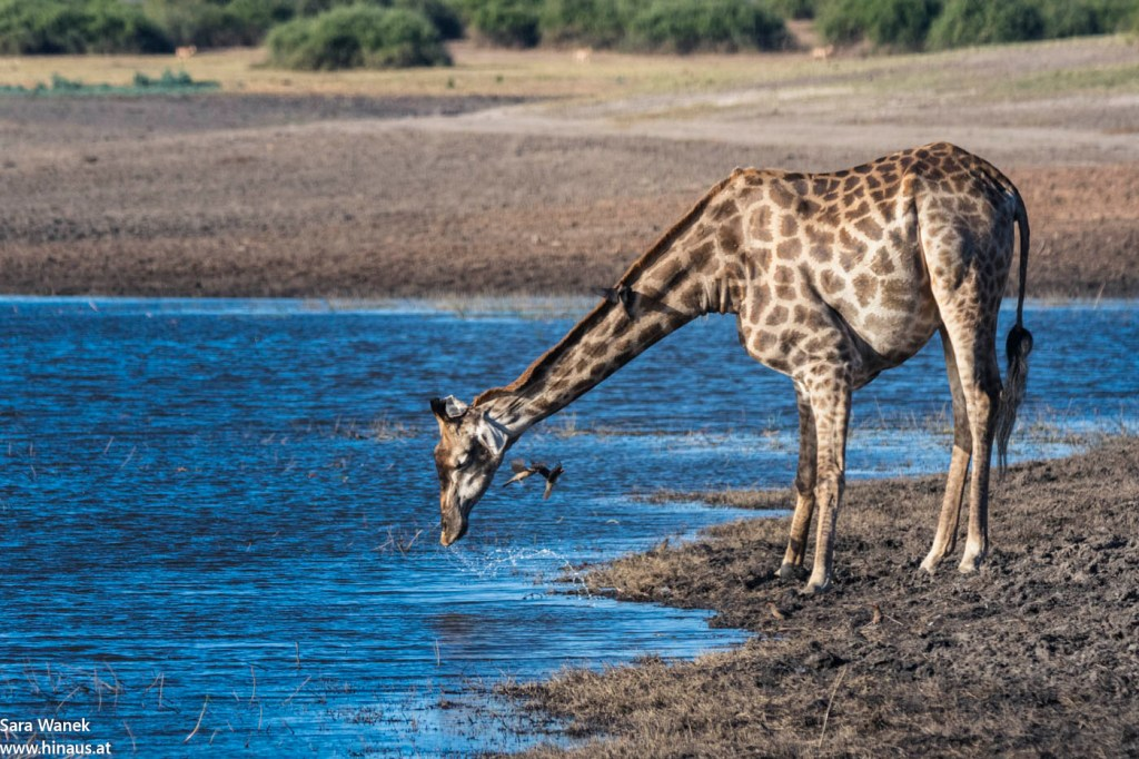 Giraffe trinkt am Chobe.