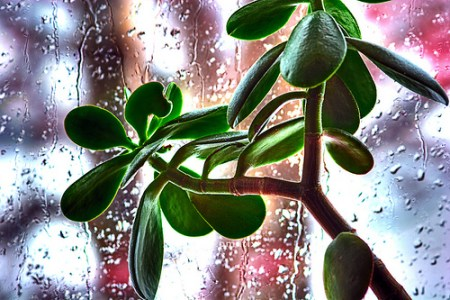 jade plant few leaves with rain drops on window behind