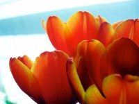 ornage tulips, close up shot