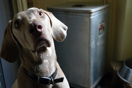 Fudge sitting next to the vintage aluminium Grundy bin containing his dog food