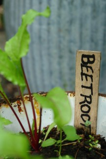 homegrown beetroot in vintage enamel breadbin
