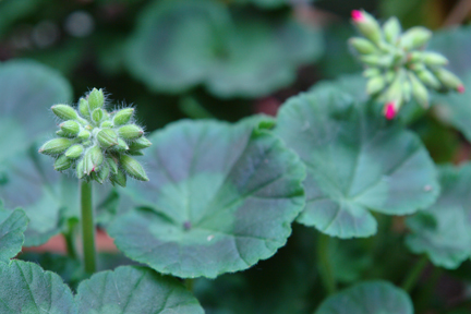 red geraniums just about ready to flower