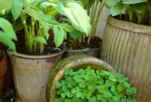 tin dolly tub and buckets containing hostas