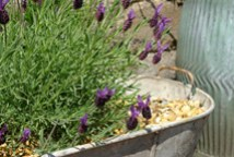 large tin bath containing lavender shrubs