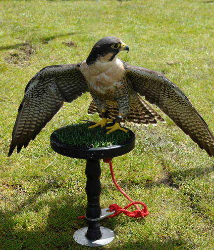 bird of prey on display at the Todmorden Agricultural Show